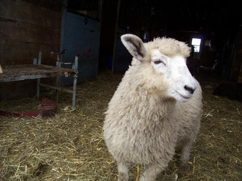 Sheep in a barn.