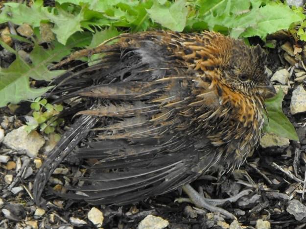 Wild bird in distress.