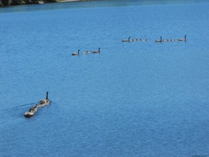 geese,baby birds,nesting,lake,swimming,goslings