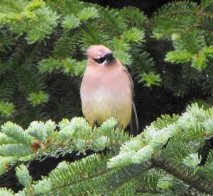 birds,animals,wildlife,birding,Cedar Waxwing