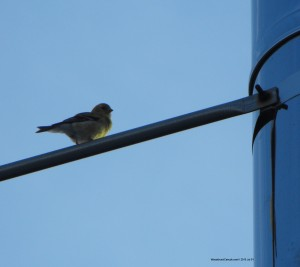 American Goldfinch,bird watching,Nova Scotia,Canada