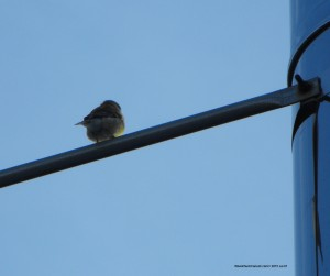 American Goldfinch,bird watching,Nova Scotia