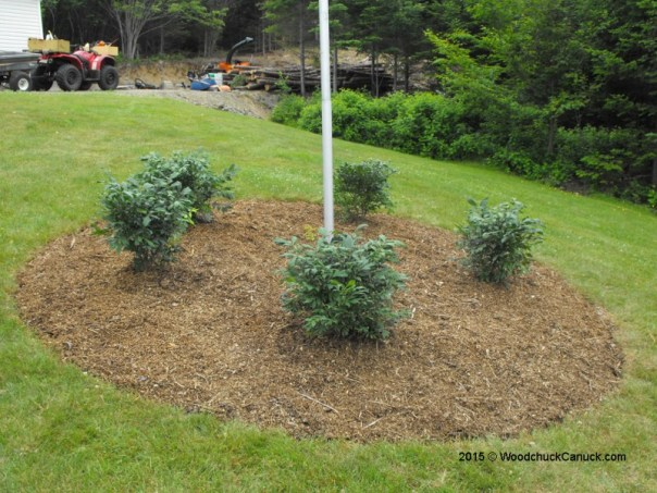 dwarf burning bushes,landscaping,gardening