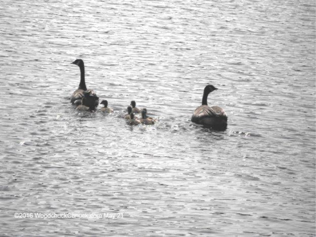 geese,wildlife,animals