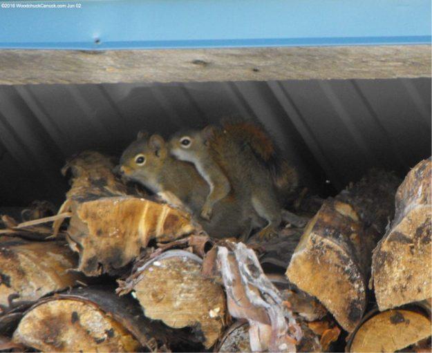 squirrels,nature,wildlife