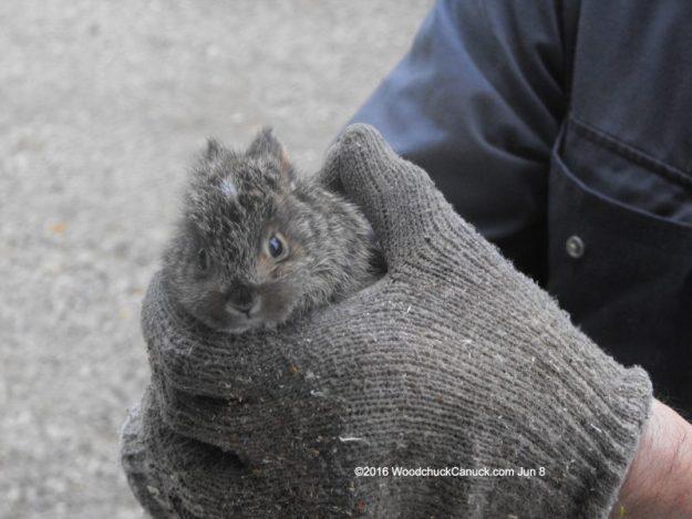 baby rabbits,bunny rabbits,animals,willife