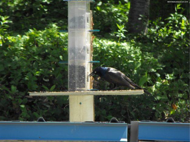 bird feeder,Common Grackle,birds,animals,wildlife,yellow eyes
