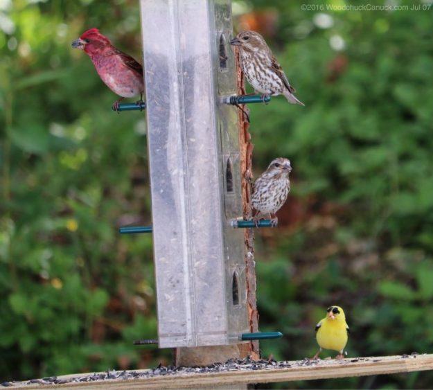 birds,animals,wildlife,nature,Purple Finches