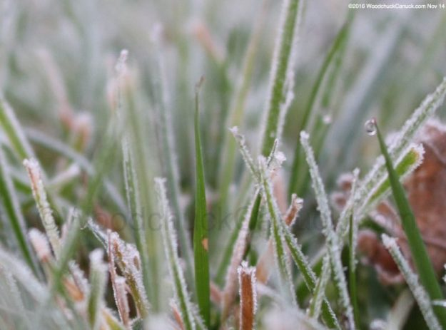 Water droplets on frosted grass