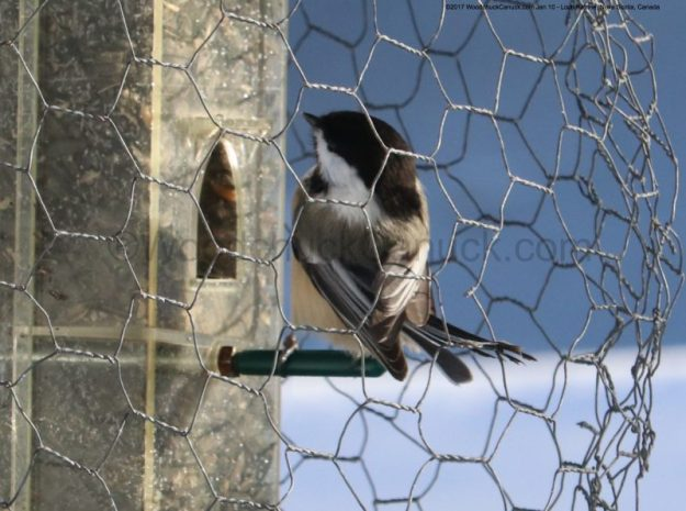 chickadees,animals,birds,cold weather,winter,birdfeeders