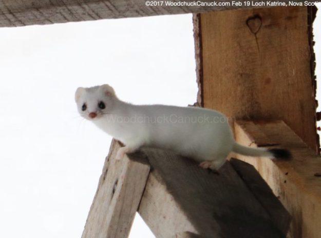 ermine,stoat,weasel,Nova Scotia