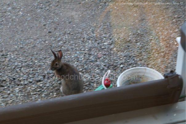 bunny rabbits, wildlife