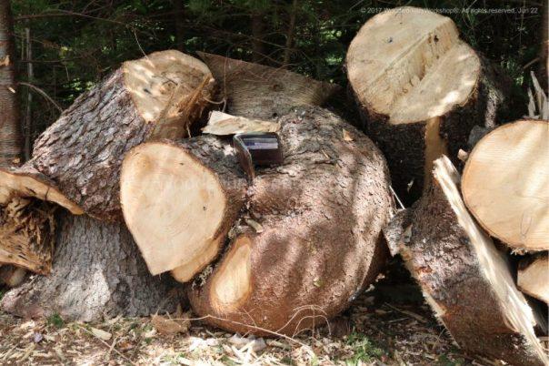 spruce wood burls,Nova Scotia,arbost work, forestry