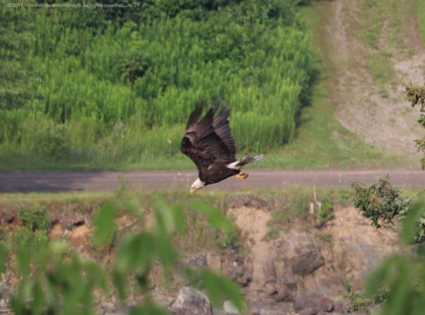 American bald eagles, wildlife,animals