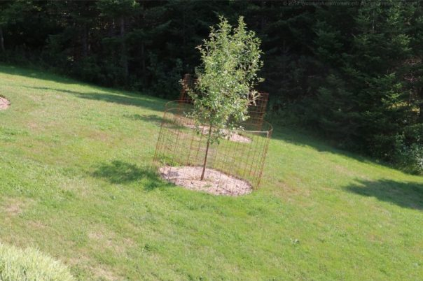 apple trees,gardining,landscaping,nova scotia