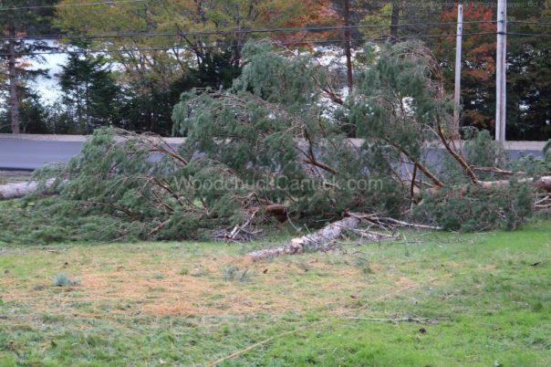 pine trees,arborist