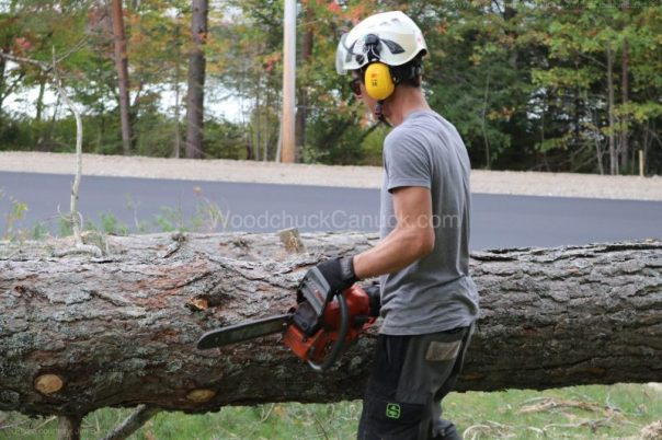 arborist,pine trees,