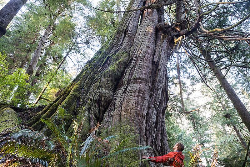 Big Tree Red Cedar In Jurassic Grove Port Renfrew