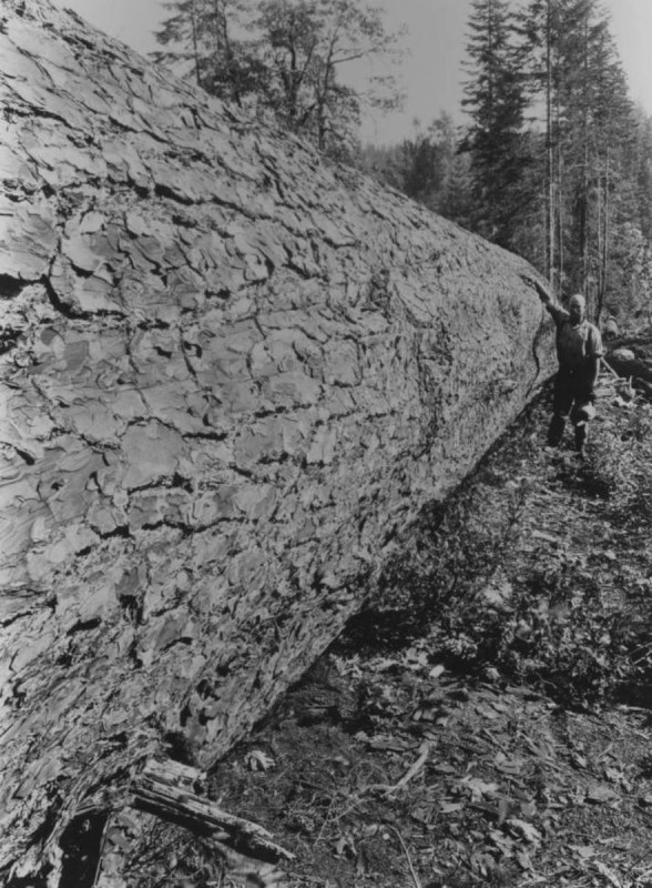 1870 Man next to felled pine tree.