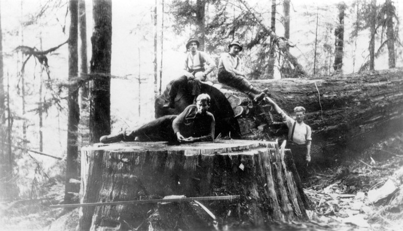 1912 One of the giant cedars at Wood Fibre [Woodfibre], B.C.