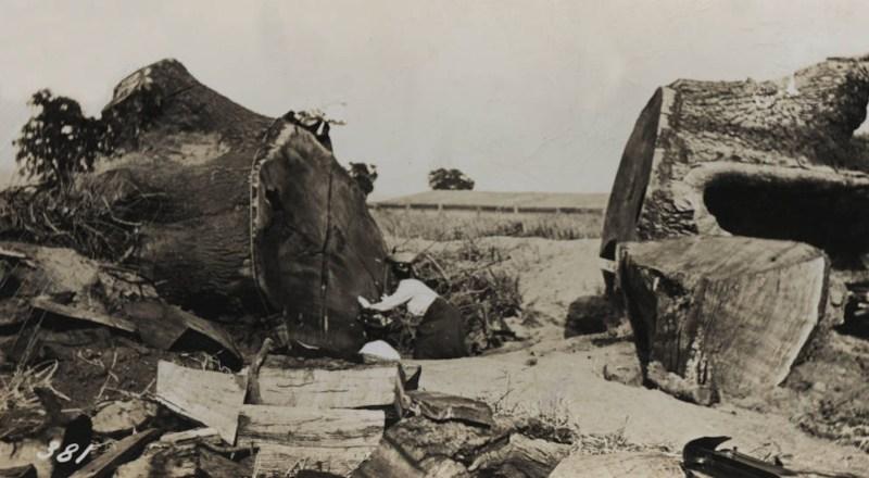 1907 Felling a massive oak tree.