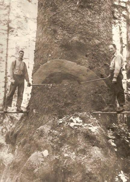 Two woodsmen pause while making a hinge cut.