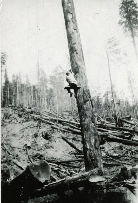 A logger rides a Bosun's chair up spar tree to set rigging.