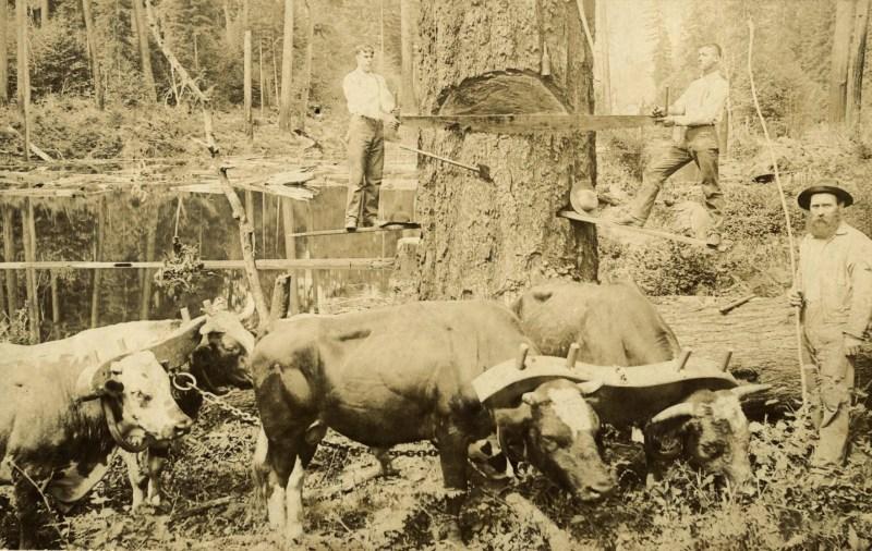 Timbermen with ox tea