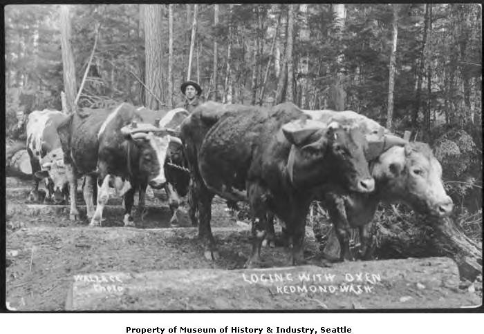 1910 Logging with oxen.