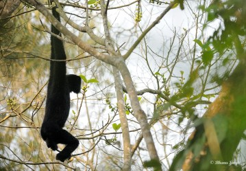 Male Hoolock Gibbon swinging