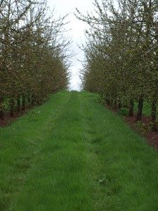 Orchard near Llantilio Crossenny