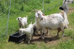 Ūkyje apgyvendintos ožkos.