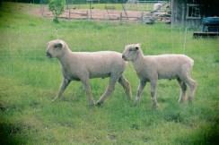 Patruliuojančios ūkyje avys.