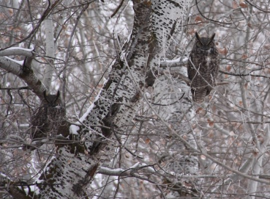 Great-Horned Owl 712x525