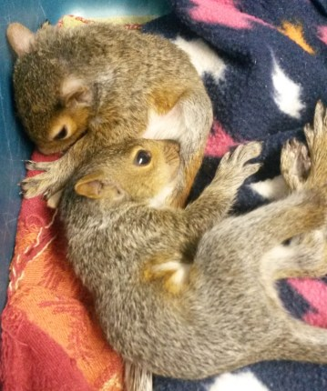 Squirrel brothers