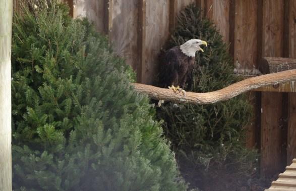 Hailley, Bald eagle, photo credit Steven Wasson