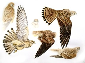 Studies of a Dead Kestrel (Juvenile)