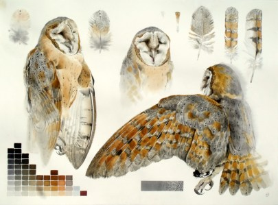 Studies of Dead Barn Owl