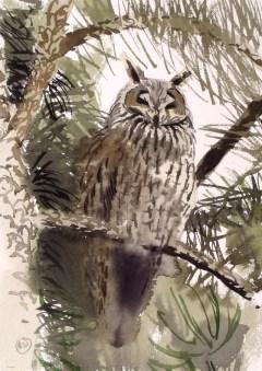 Long Eared Owl, Rønne