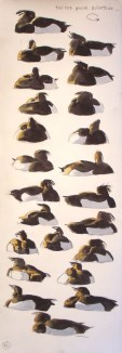 Tufted duck rotation sequence