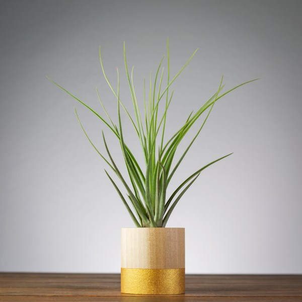 gold round air plant display