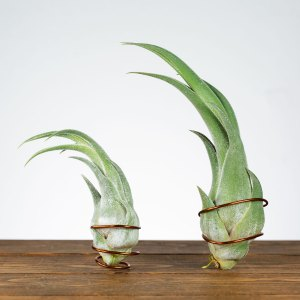 tillandsia seleriana dragon claw