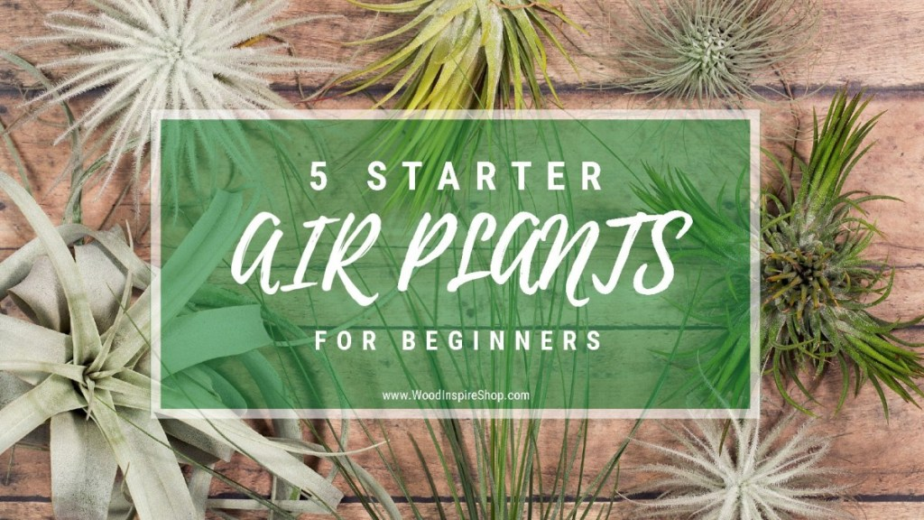 5 Starter Air Plants For The Beginner Wood Inspire Easy To Care