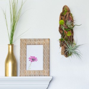 driftwood wall air plant display