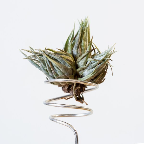 tillandsia kautskyi clump