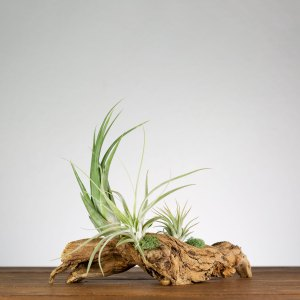 tillandsia driftwood air plant table top display