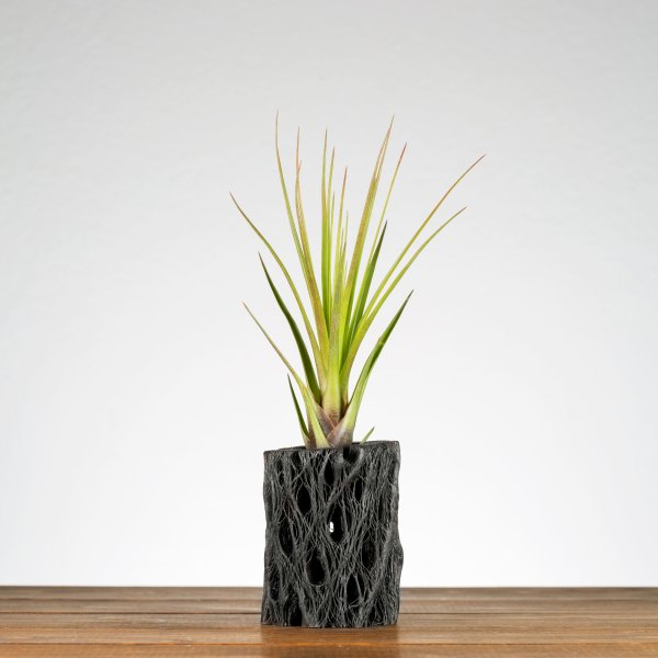 Black Cholla Air Plant Holder