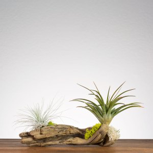 Air Plant Driftwood Display