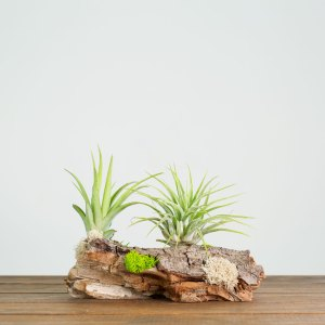 Tillandsia Driftwood Display
