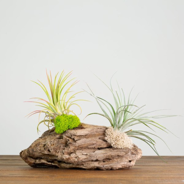 Driftwood Air Plant Table Display